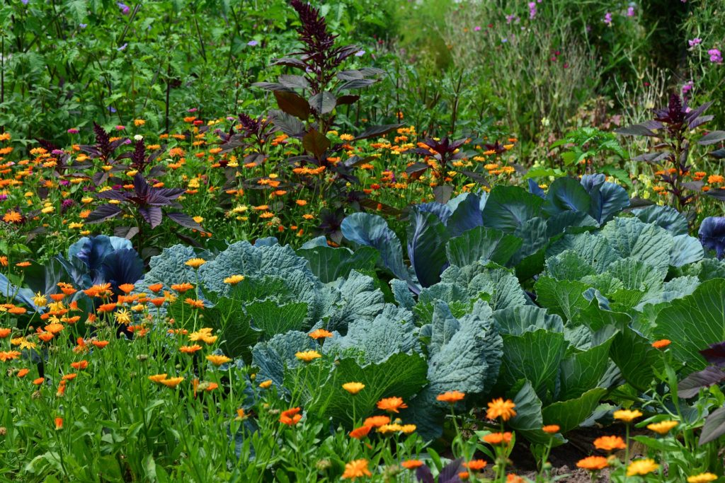 Garden Vegetable Growing Harvest Herb, White Cabbage