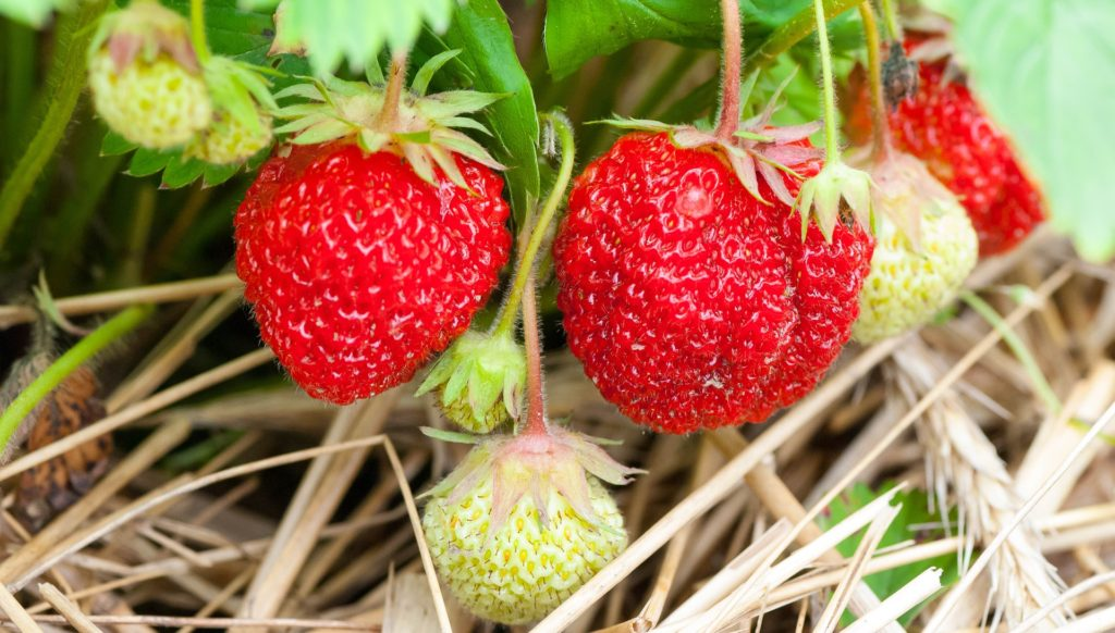 strawberry Fruit, Food Strawberry Healthy, Nature Berry