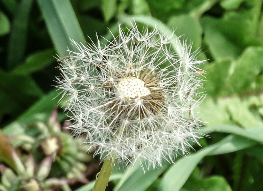 Dandelion, Weak, Ephemeral Nature, Green Plants
